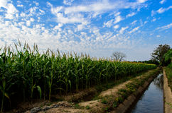 Corn farm 2. Corn farm in chiangmai Thailand Royalty Free Stock Images