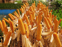 Corn farm Royalty Free Stock Image