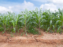 Corn farm. Rows of young corn plants on a farm Royalty Free Stock Photography