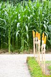 Corn farm Royalty Free Stock Photography