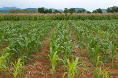 Corn farm Royalty Free Stock Photo
