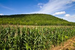 Corn farm Stock Photos
