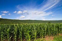 Corn farm. In countryside of Thailand Royalty Free Stock Image