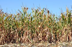 Corn farm Stock Image
