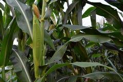 Corn on farm Stock Photo