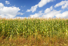Corn farm Royalty Free Stock Photography