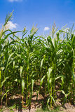 Corn farm against blue sky Stock Image