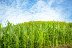 Corn Farm. Against Blue Sky of Thailand Stock Image