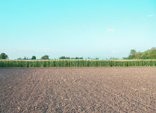 Corn farm Royalty Free Stock Images