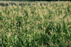 Corn farm , Agriculture Royalty Free Stock Photo