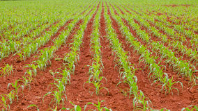 Corn farm. Baby corn grown on red soil Royalty Free Stock Photography