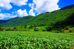 Corn farm in countryside Stock Photo