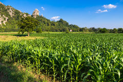 Corn Farm Stock Photography