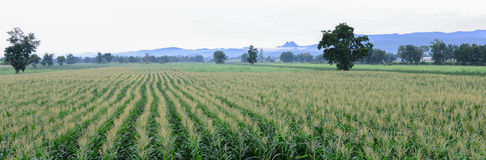 Corn farm. That grow in long rows lead the sight  the rear has a mountain and beautiful clouds Stock Images