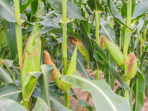 Corn farm. Growth corn farm, growth corn field Royalty Free Stock Images