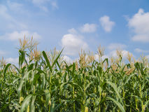 Corn farm Stock Images