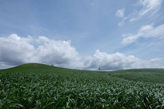 Corn farm. Korat, Thailand plentiful Royalty Free Stock Images