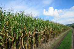 Corn farm on the mount Stock Photo