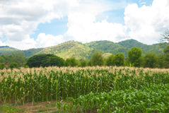 Corn Farm on the mountain. Big corn farm on the mountain with beautiful landscape Royalty Free Stock Photo