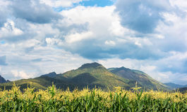 Corn farm and mountain. Sweet corn fram and mountain on background in cloudy day Royalty Free Stock Images