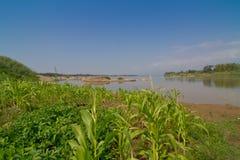 Corn farm at Mekong riverside Stock Images
