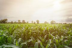 Corn farm. With sunny in the afternoon Royalty Free Stock Image