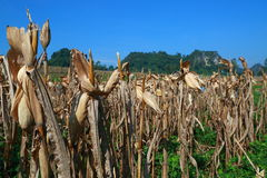 Corn farm. At tak province, thailand Royalty Free Stock Images
