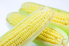 Corn. At farm in Thailand Royalty Free Stock Images