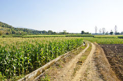 Corn farm three Royalty Free Stock Photo
