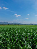Corn Farm view Royalty Free Stock Images