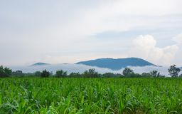 Corn farm. Young green corn on the farm Royalty Free Stock Image