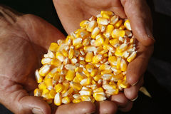 Corn in farmer hands stock images