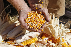 Corn in Farmer's Hands Royalty Free Stock Photo