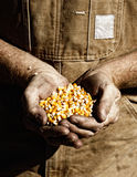 Corn in Farmer's Hands Stock Photo