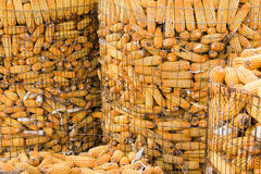 Corn. The farmer took the mature corn packed into large cages made of wire royalty free stock image