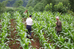 Corn farmers in the. Farmers in the corn fields where the labor Stock Image