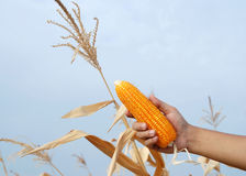 Corn in Farmers Hand Royalty Free Stock Photography
