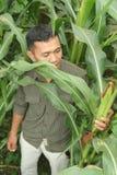 Corn farming Stock Photography
