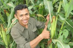 Corn farming Stock Image