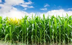 Corn farming Royalty Free Stock Photos