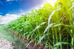 Corn farming Stock Photos