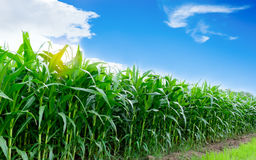 Corn farming. With sunshine and blue sky in morning Royalty Free Stock Photo