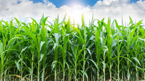 Corn farming. With sunshine and blue sky in morning Royalty Free Stock Photos
