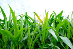 Corn farming Stock Images
