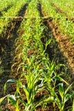 Corn farmland Stock Photo