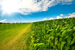 Corn on farmland in summer Stock Images