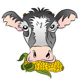 Corn Fed Cow Royalty Free Stock Images