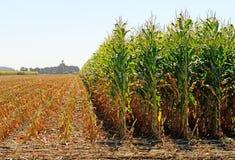 Corn Feed Royalty Free Stock Photo