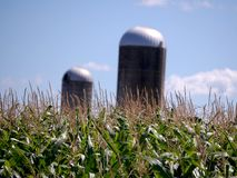 Corn Feild with two Silos Stock Photography