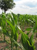 Corn Feld Stock Images